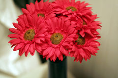 Red mum Stock Image