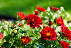 Red Mums Stock Photos