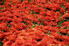 Red Mums Royalty Free Stock Photo