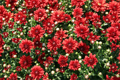 Red Mums Royalty Free Stock Image