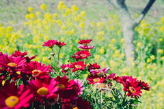 Red mums. In flower yellow back Stock Photography
