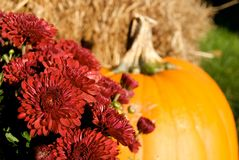 Red Mums And Pumpkin For Halloween Royalty Free Stock Photo