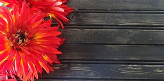 Red mums with wooden background. Autumn decor royalty free stock images