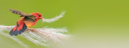 Free Red Munia Stock Images - 213623384