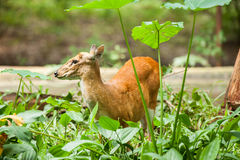 The Red muntjac feeding Stock Images