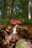 Red Mushroom on the Royalty Free Stock Images