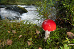 Red mushroom. A red mushroom in the forrest at autumn Stock Photography