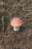 Red and White Spotted Mushroom or Toadstool Royalty Free Stock Images