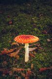 Red mushroom in the forest Royalty Free Stock Image