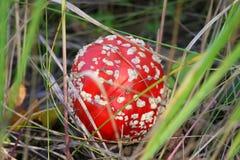 Red mushroom Amanita under my feet in the dry grass Stock Photo