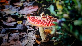 Red Mushroom in Closeup Photography Stock Images