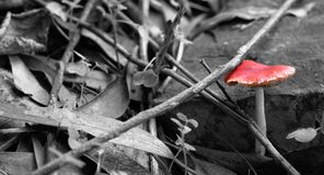 A lonely red mushroom in the woods. This is a red mushroom edited with selective color to maximize its color stock photos