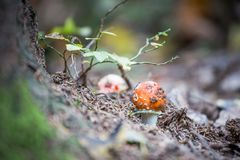 Red mushroom fungi. Between autumn leaves Stock Photography