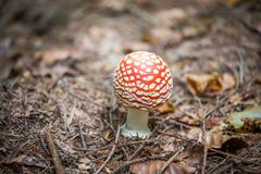 Red mushroom fungi. Between autumn leaves Stock Photo