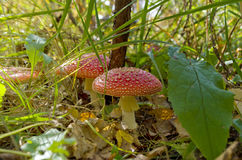 Red mushroom in the grass. Red mushroom in the grass and in the light of the sun Stock Image