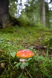 Red Mushroom in the Green Royalty Free Stock Image