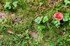 Red mushroom Royalty Free Stock Photography