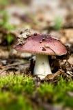 Red mushroom russula Royalty Free Stock Photography