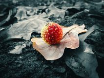 Red mushroom in the shape of a ball, with yellow pimples on an oak autumn leaf, on a black and white blurry background, close-up Royalty Free Stock Photography