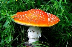 Red mushroom - texture Royalty Free Stock Photo
