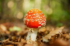 Red mushroom with white dots Royalty Free Stock Photo
