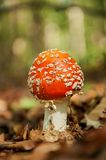 Red mushroom with white spots. In autumn forest royalty free stock images