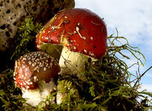 Red mushrooms Stock Photo