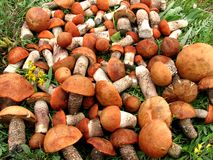 Red mushrooms. Stock Photography
