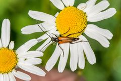 Red mustachioed insect sits on a white daisy flower stock photos