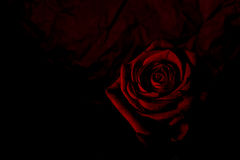 Red mysterious rose Royalty Free Stock Image