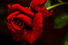Free Red  N Fragrant Rose - Hybrid Tea Stock Photo - 12676380