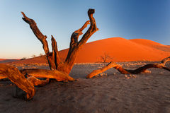 Red Namibian desert dunes with weathered stumps in foreground Royalty Free Stock Image