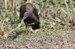 Red - naped ibis bird Stock Images