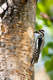 Red Naped Sapsucker. Female Red Naped Sapsucker Returning to Nest Cavity with Mouthful of Bees Stock Photos