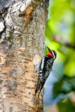 Red Naped Sapsucker. Male Red Naped Sapsucker Clinging to Tree Trunk at Nest Cavity Stock Photography