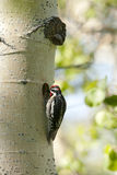 Red Naped Sapsucker. Stock Images