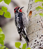Red-naped Sapsucker Royalty Free Stock Photo