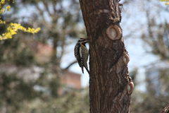 Red-naped sapsucker in new york city Royalty Free Stock Photography