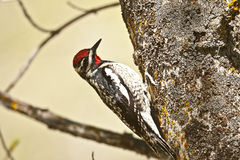 Red naped sapsucker Royalty Free Stock Images