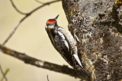 Red naped sapsucker Royalty Free Stock Photo