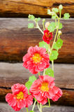 Red nasturtium. On background of the wooden wall Royalty Free Stock Images