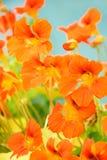 Red nasturtium. Bright background from beautiful orange nasturtium Stock Photo