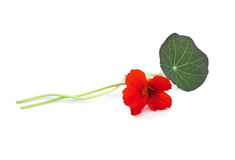 Red nasturtium Stock Photo