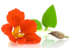 Red nasturtium Royalty Free Stock Image