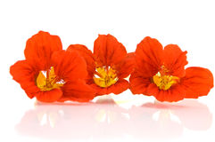 Red nasturtium Royalty Free Stock Photo