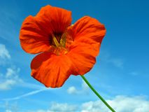 Red nasturtium Stock Photos