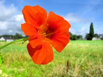 Red nasturtium flower Royalty Free Stock Photo