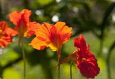 Red Nasturtium Flowers Close Up Royalty Free Stock Photography