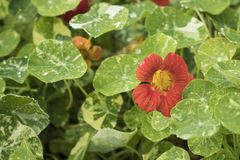 Red Nasturtium with Variegated Leaves. A red nasturtium is covered with water droplets royalty free stock photography