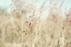 Red natal grass (shallow abstract background ). Red natal grass (shallow abstract background with bokeh, vintage tone Stock Photo